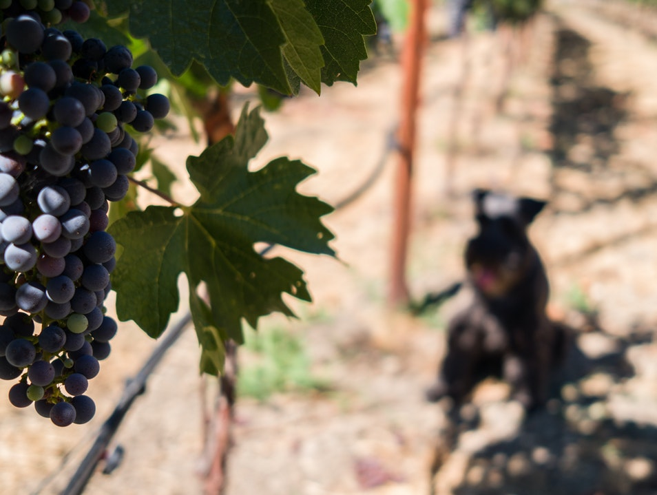 Axel in the Vineyards Napa California United States