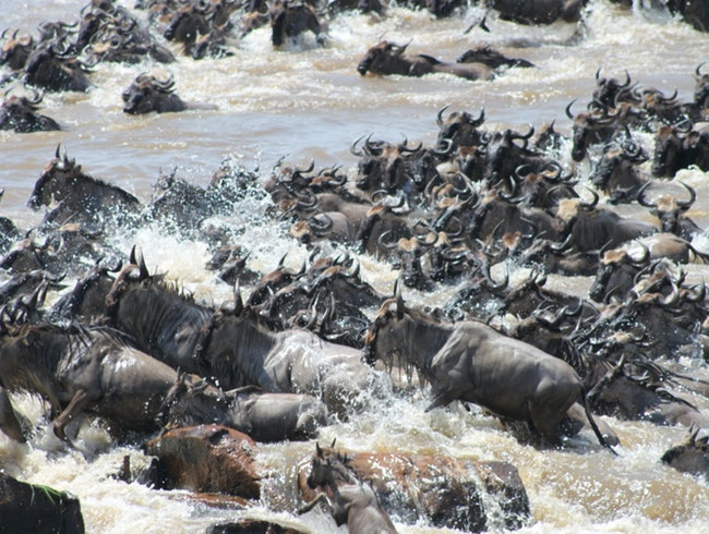 View of the Migration from Singita Mara River Tented Camp
