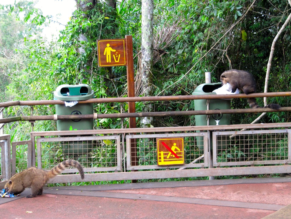 One man's trash is a coati's treasure Iguazú  Argentina