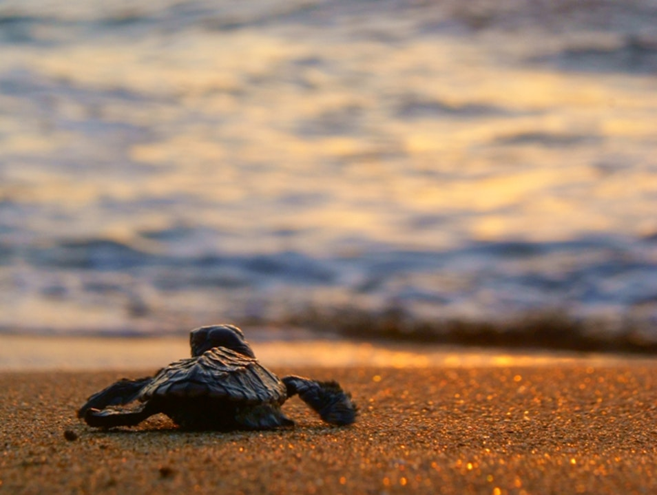 Saving Costa Rican Sea Turtles in the Osa Drake Bay  Costa Rica