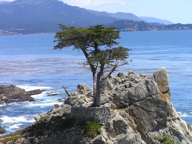 Cypress tree and Pacific