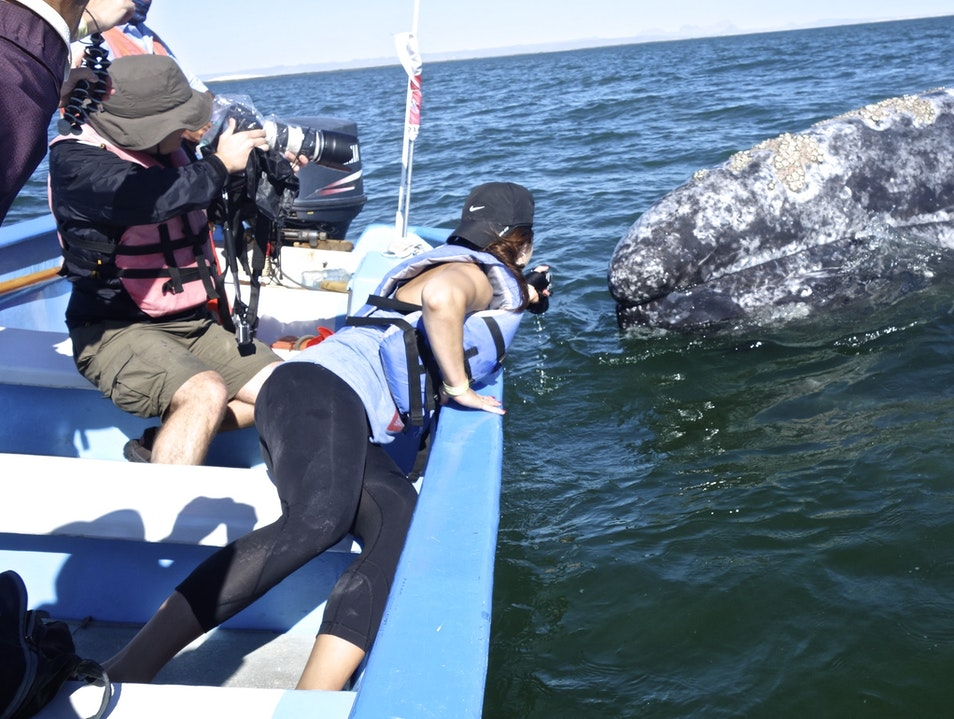 Close Encounters with Grey Whales Mulegé Municipality  Mexico