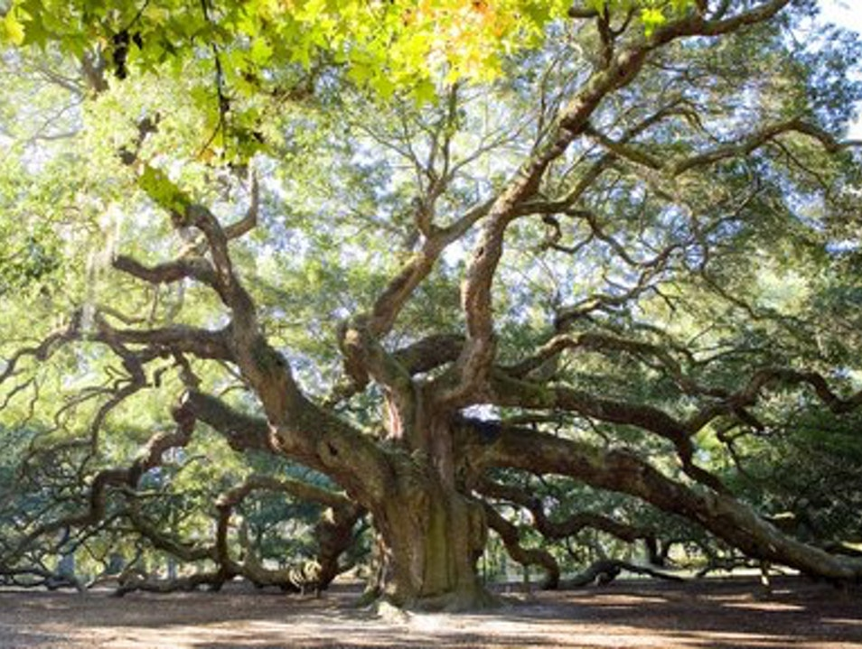 Beautiful Angel Oak Charleston South Carolina United States