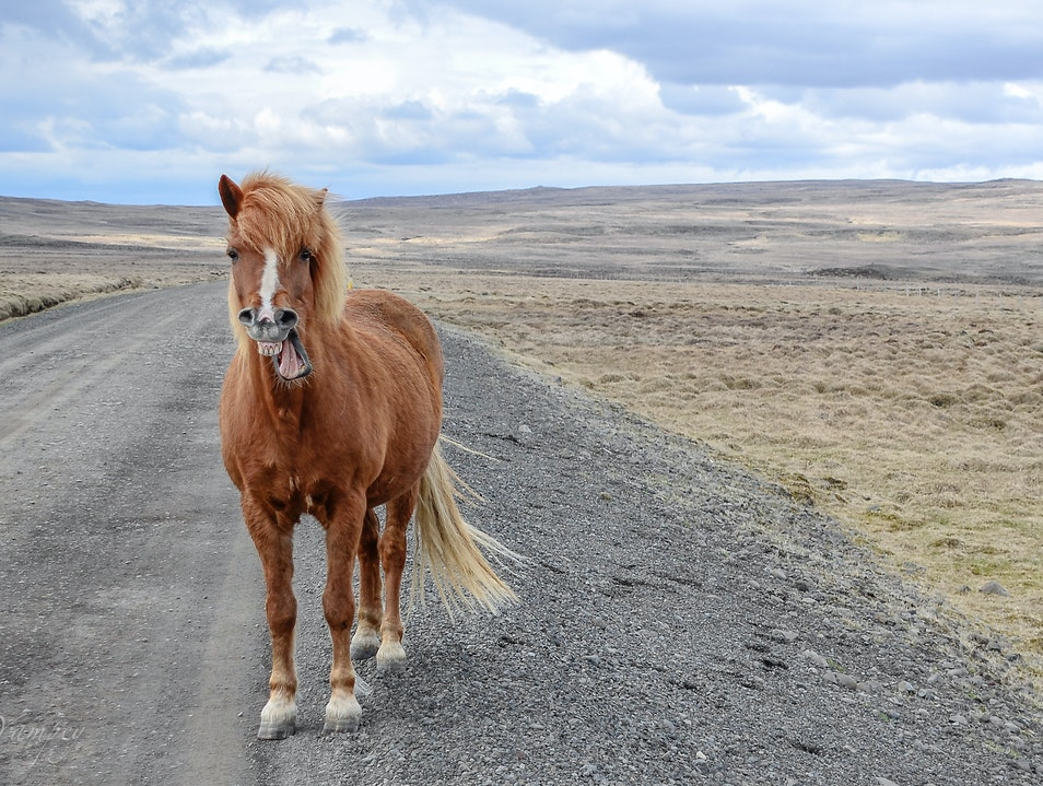 Horsing around  Northwest  Iceland