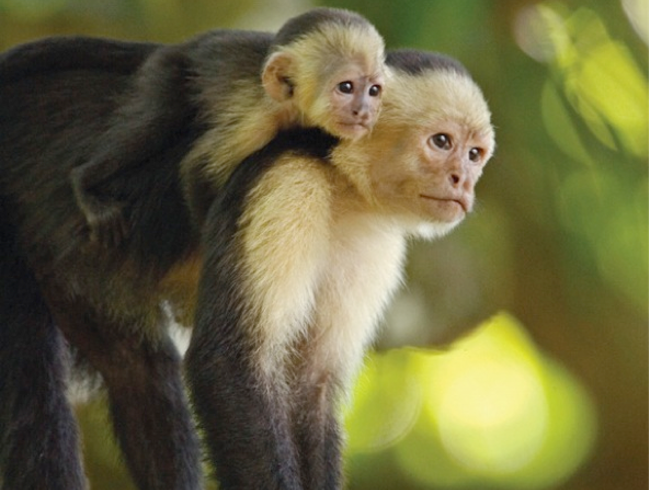 Costa Rica's Charismatic Capuchins
