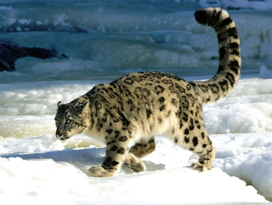 Snow Leopard Conservation in Central Asia Katangsky District  Russia