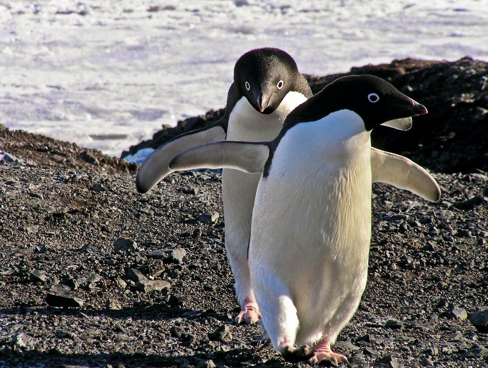 Visit from the Adelies McMurdo Station  Antarctica