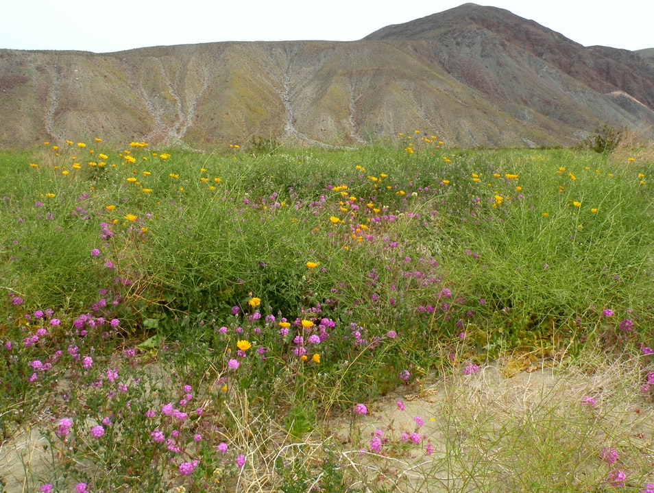 Famous wildflowers in Anza-Borrego state park San Diego California United States