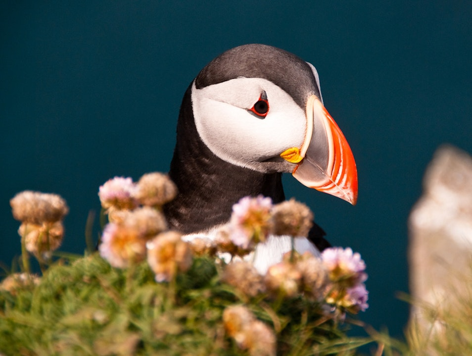 See the puffins at Bullers of Buchan Cruden Bay  United Kingdom