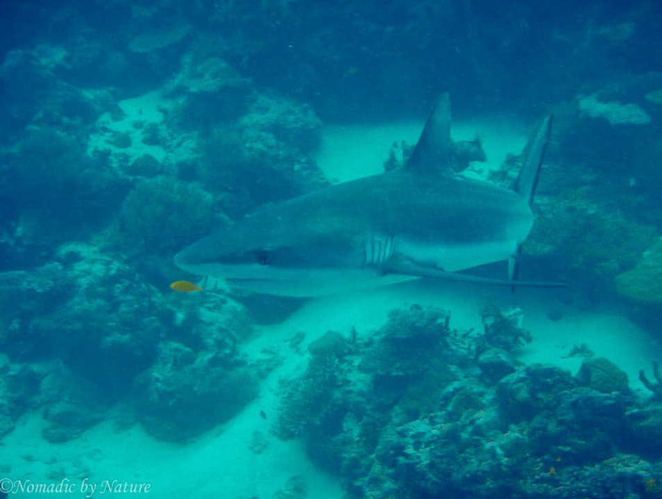 Fiji Shark Dive: Bull Fighting Tiger Sharks Pacific Harbour  Fiji