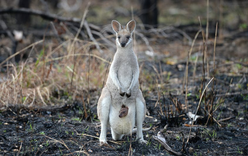 It's estimated that about 1 billion animals—including wallabies like these—have died in the blazes.