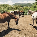 Horseback Riding in Luquillo Luquillo  Puerto Rico