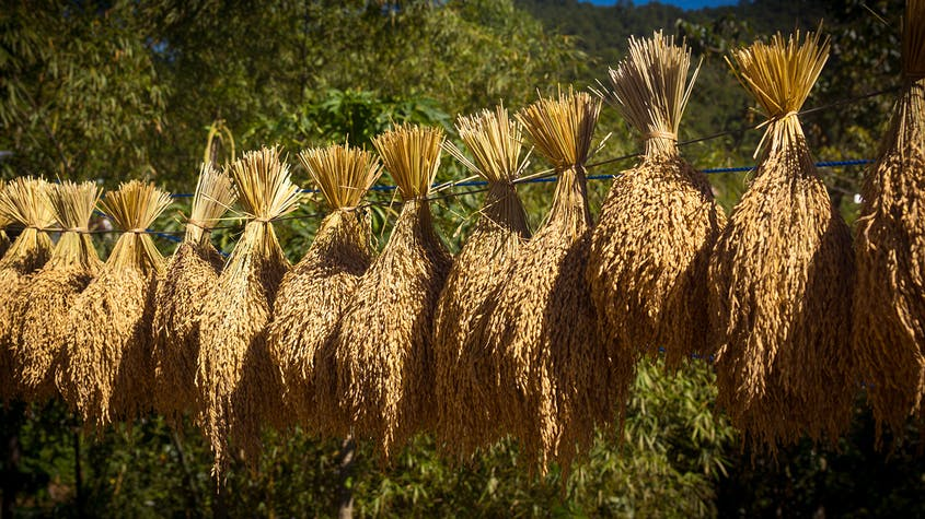Freshly harvested rice husks hung to dry in the mountainous regions of the Philippines