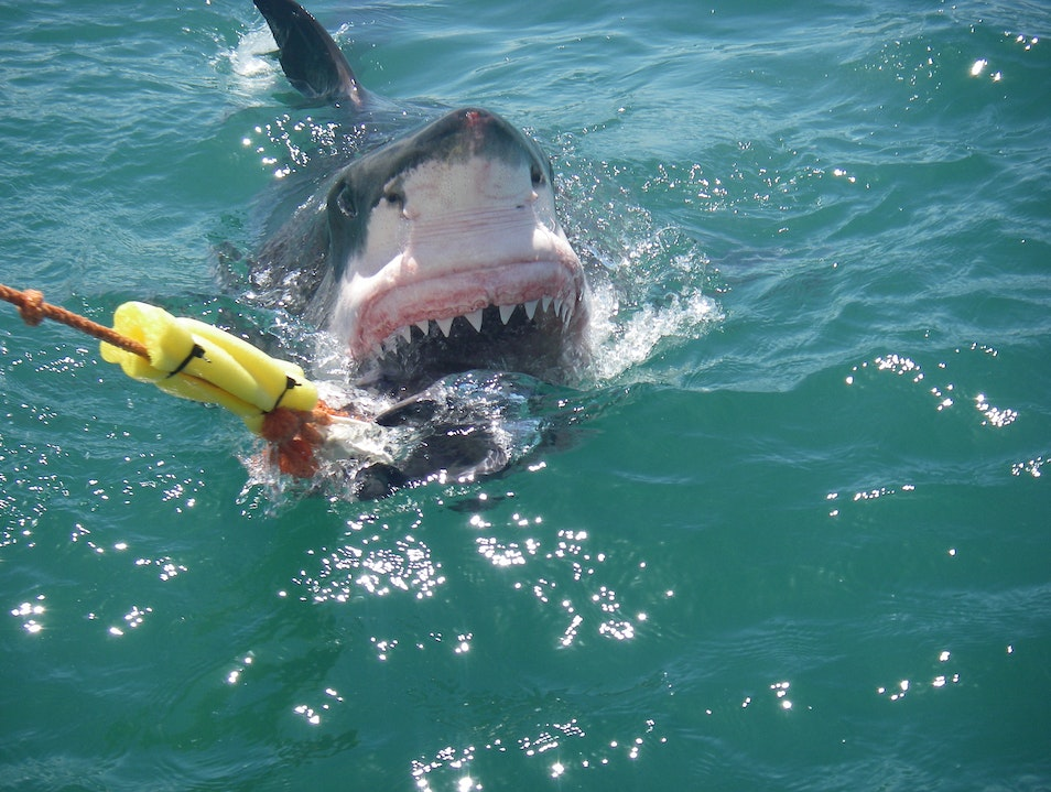 Great White Shark Conservation Mossel Bay  South Africa