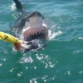 Shark Warrior Mossel Bay  South Africa