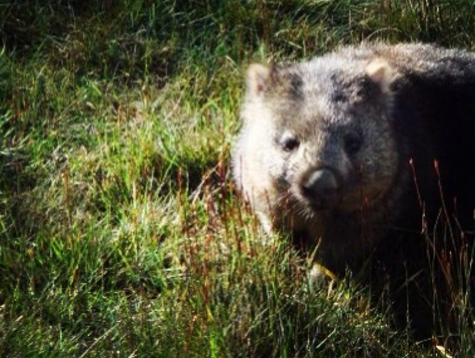 Walking With Wombats, Hiking In Tasmania Cradle Mountain  Australia
