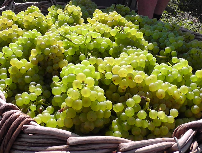 Chardonnay Grapes in Champagne, France