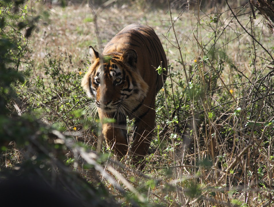 Seeing a Royal Bengal Tiger in the Wild Miyapur  India