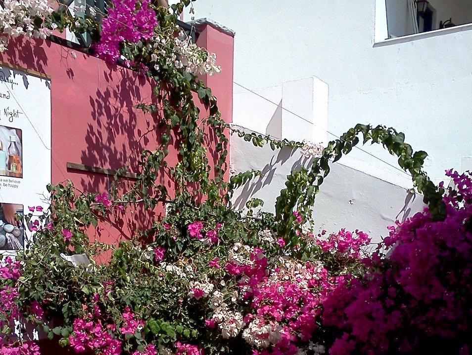 Bougainvillea abounds on Santorini!