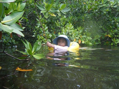 Bimini Mangrove Forests Bailey Town  The Bahamas