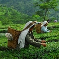 Glenburn Tea Estate Darjeeling  India