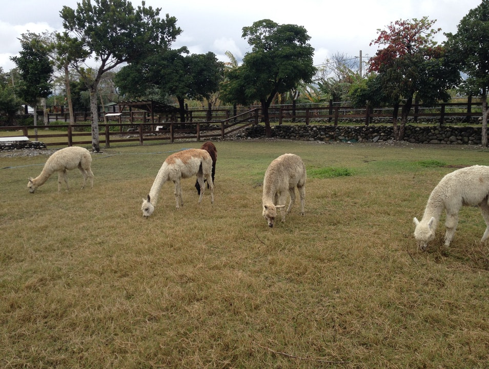 relaxing in the countryside with the alpacas.