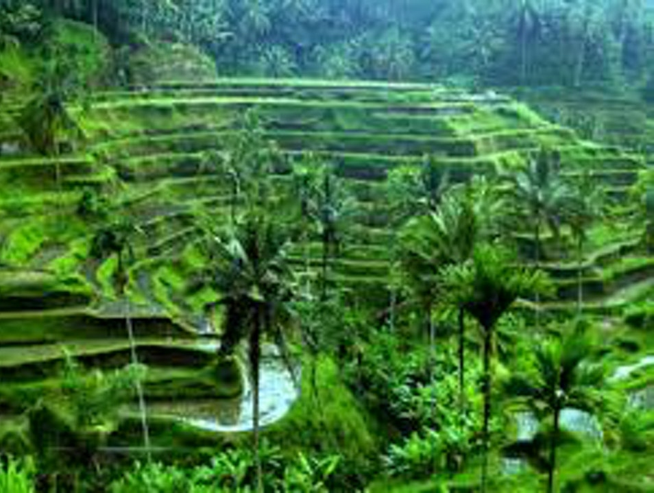 The Beautiful Rice Field in Heart of Bali Tegallalang  Indonesia