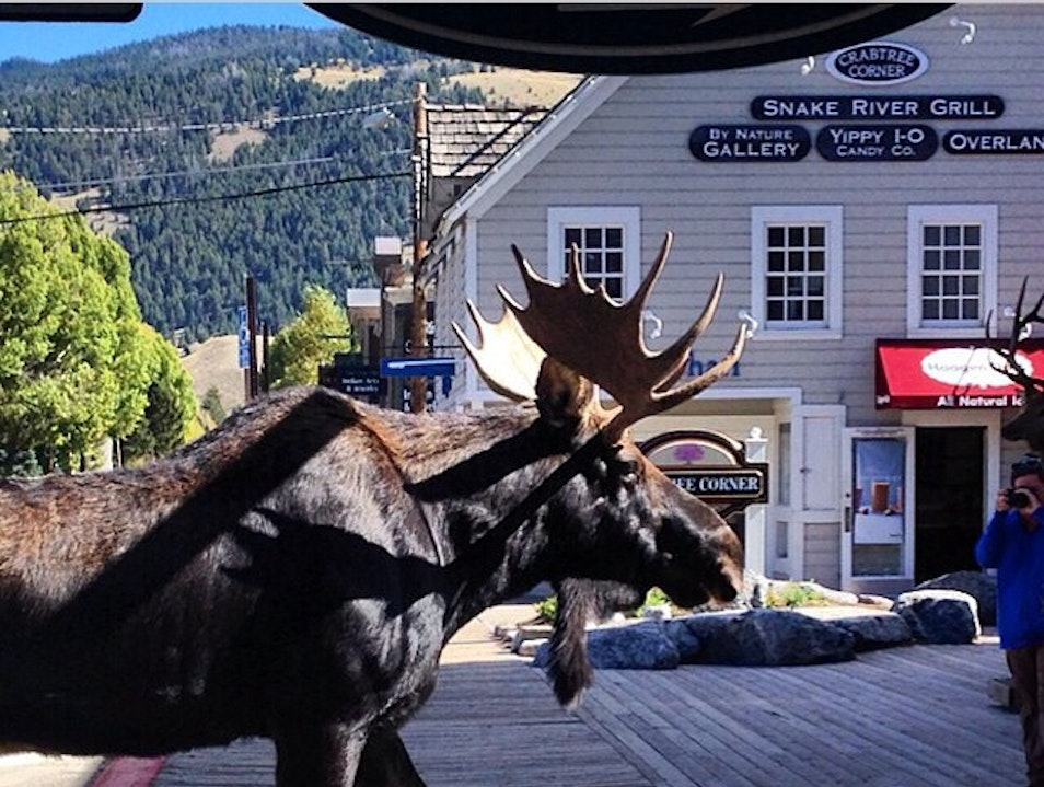 @stiostudiojh post this morning - moose on town square in Jackson, Wyoming Jackson Wyoming United States