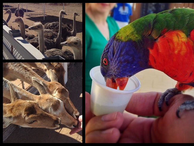 Feed the lorikeets! Feed the ostriches! An AZ road-trip stop worth making