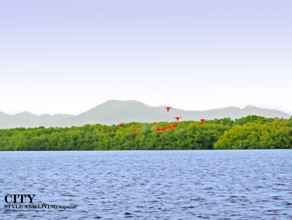 See the Scarlet Ibis Roost in Caroni Swamp Trinidad Tunapuna Piarco  Trinidad and Tobago