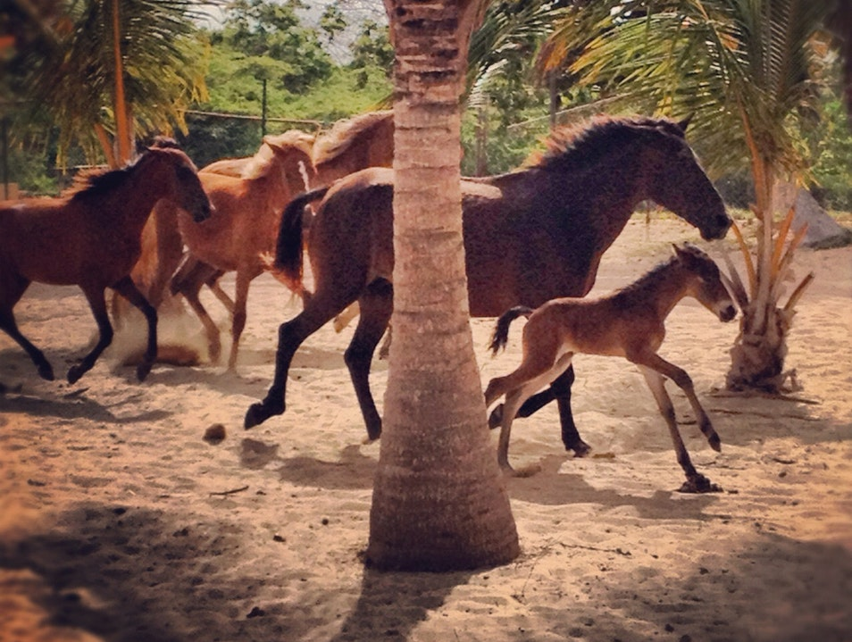 Wild Horses on Sun Bay Beach Vieques  Puerto Rico