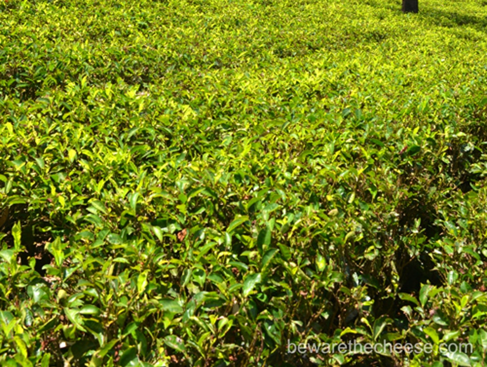 Sri Lanka Tips - Tea Plantations Are Worth A Visit Nuwara Eliya  Sri Lanka
