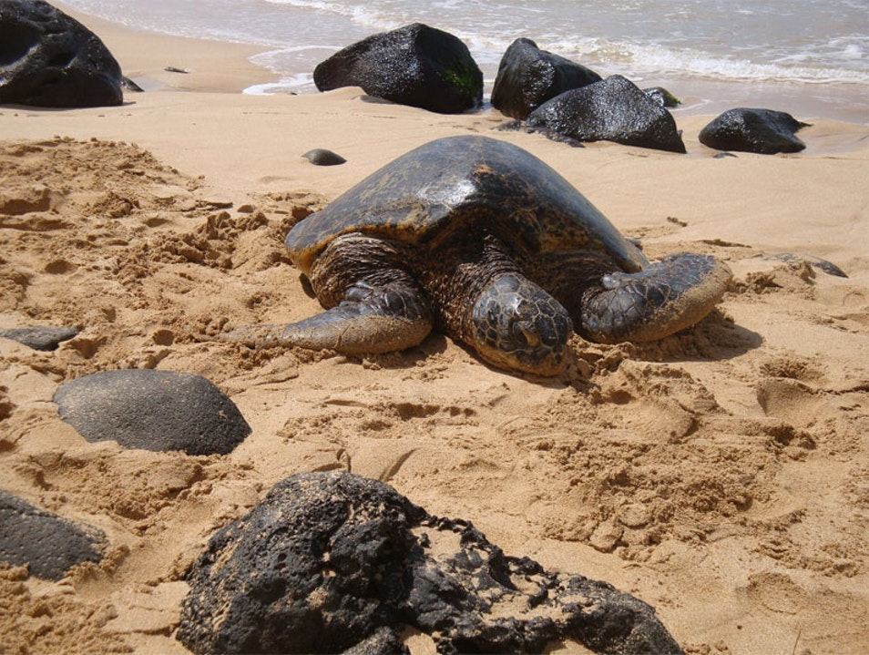 Meet Hawaiian Green Turtles Haleiwa Hawaii United States