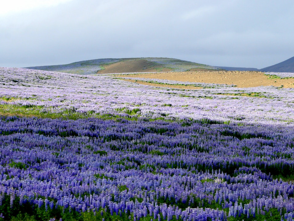 Lupine party in Northern Iceland Reykjahlidh  Iceland