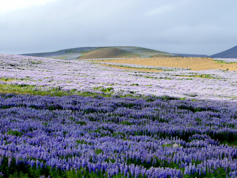 Lupine party in Northern Iceland Northeastern Region  Iceland