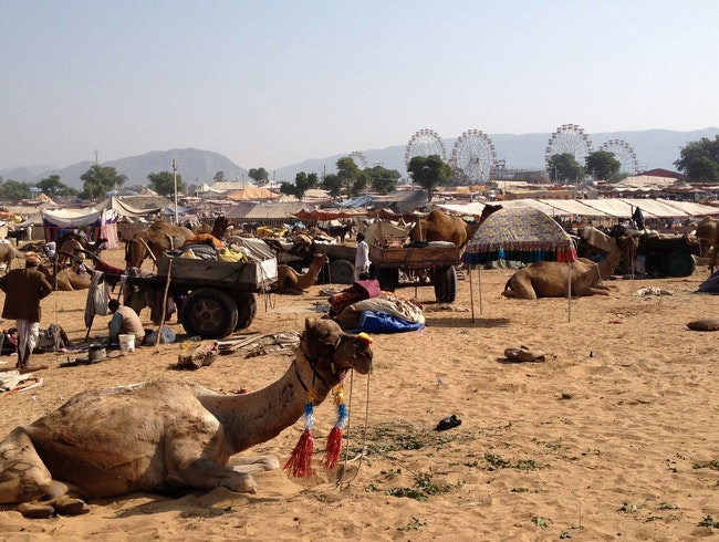 Horses, Cattles...Camels, oh my