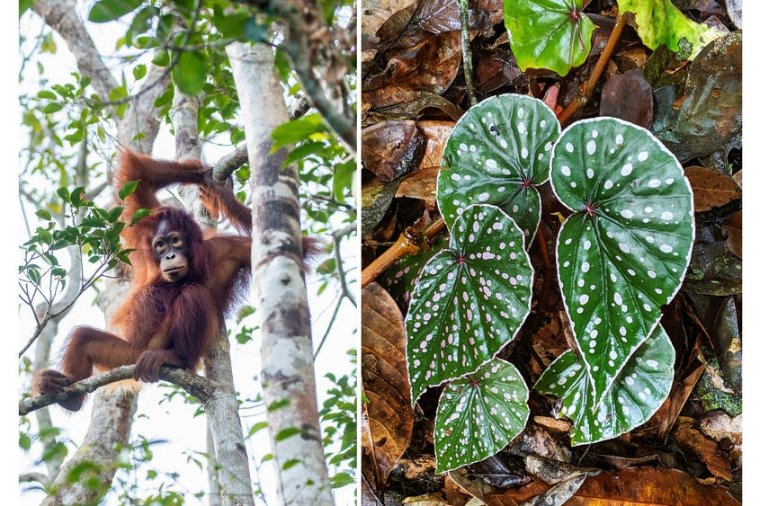 Critically endangered orangutans are only found in Borneo and Sumatra; at the Sepilok Orangutan Rehabilitation Centre, orphaned orangutans are rescued, nursed, and then released into the wild.
