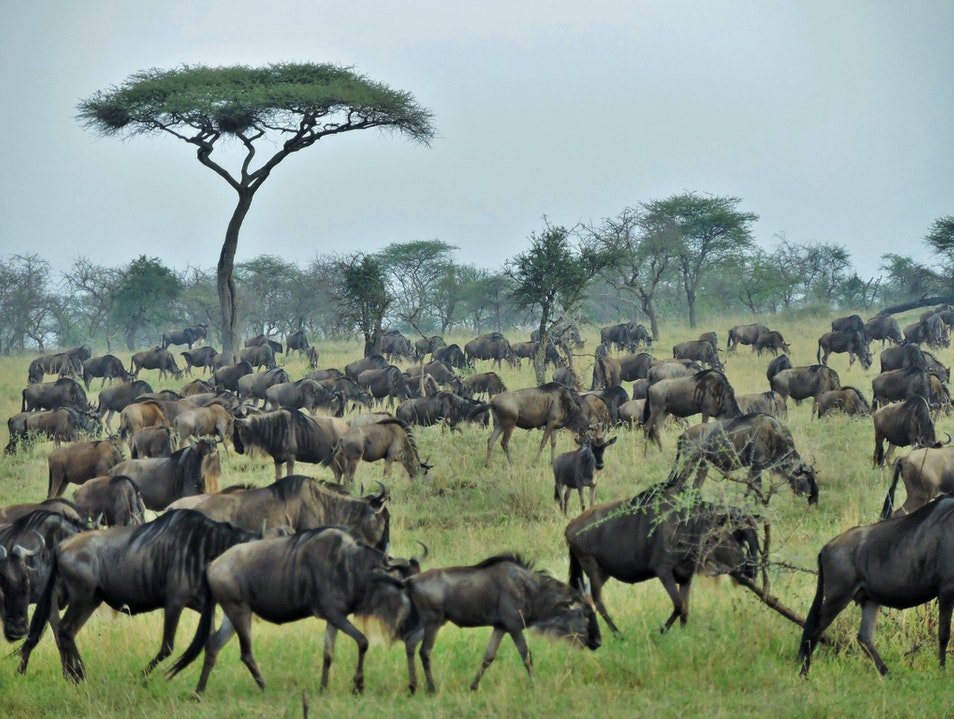 Migrate with the Wildebeests in Tanzania Serengeti  Tanzania