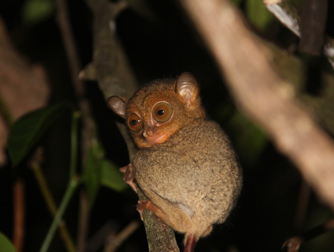 Kinabatangan-Safari: how to spot a western tarsier
