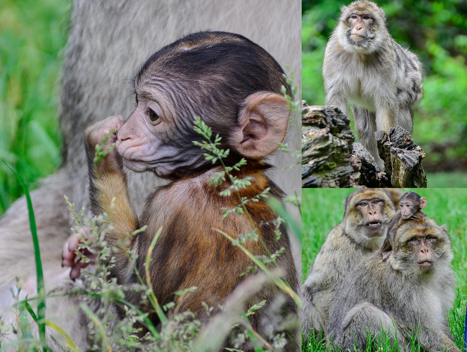 Macaques in the heart on England  Trentham  United Kingdom