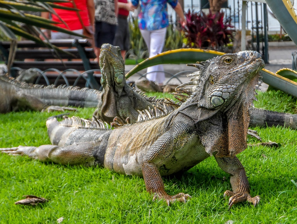Crawl Along to Guayaquil's Iguana Park