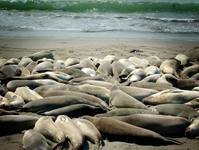Lazy elephant seals