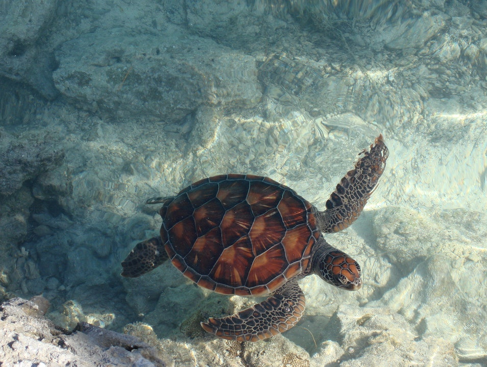 Help save turtles by swimming with them Leeward Islands  French Polynesia