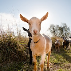 Goat Yoga at Welcome Home Ranch
