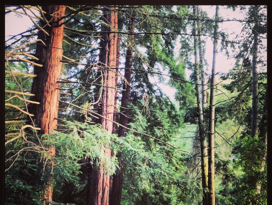 Rising Redwoods in Tilden Park Berkeley California United States