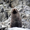 Antarctic Fur Seals   Antarctica