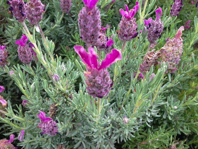 In the Mountains of Maui: Alii Kula Lavender Farm