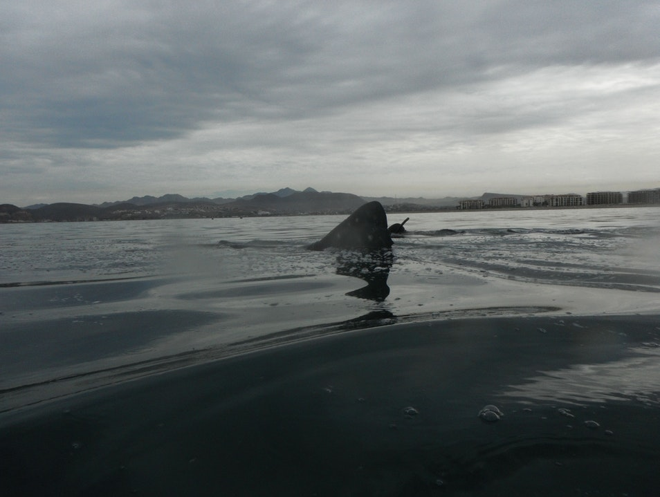 Snorkeling with Whale Sharks in La Paz Mexico