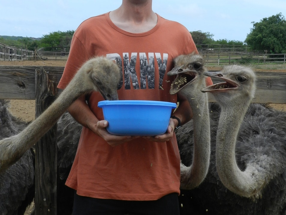 Mike: Feeding the friendly ostriches in Curacao