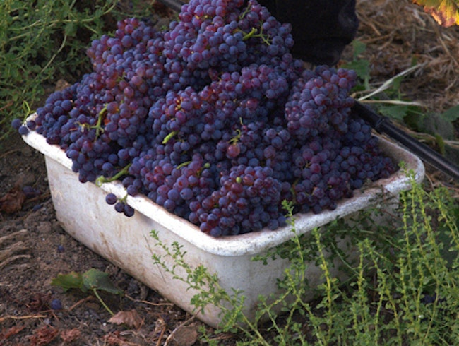 Freshly harvested grapes for wine